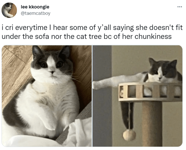 Cat - lee kkoongie @taemcatboy ... i cri everytime I hear some of y'all saying she doesn't fit under the sofa nor the cat tree bc of her chunkiness