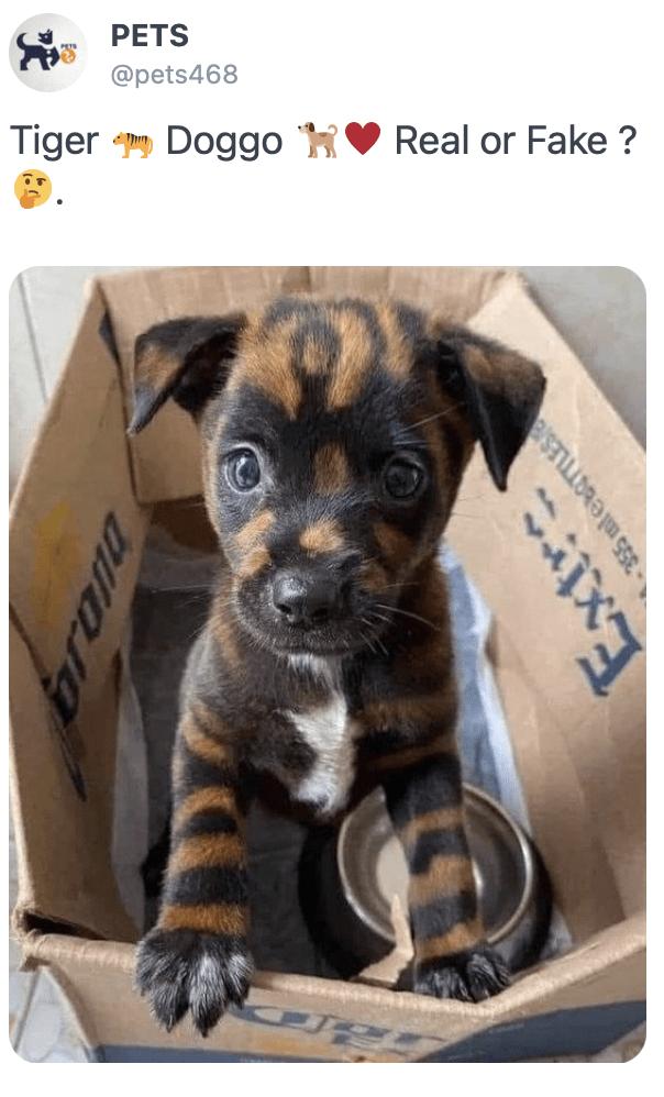 Dog - PETS @pets468 Tiger Doggo Real or Fake ? 355 mleBorLES