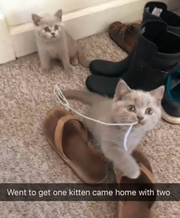 Cat - Went to get one kitten came home with two