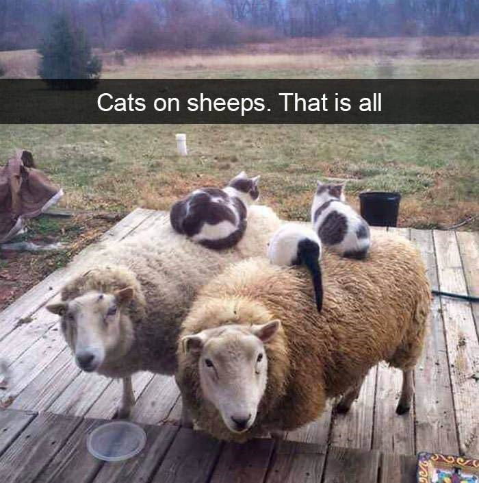Photograph - Cats on sheeps. That is all