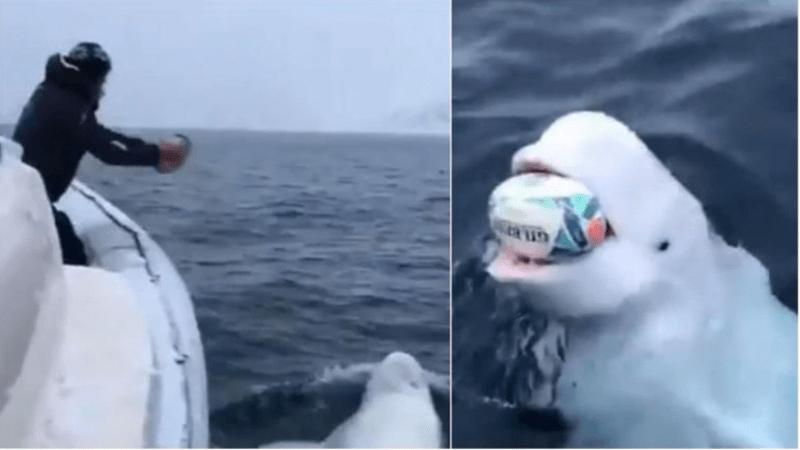 Beluga whale video