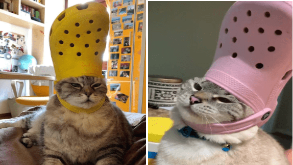 pets wearing crocs hats