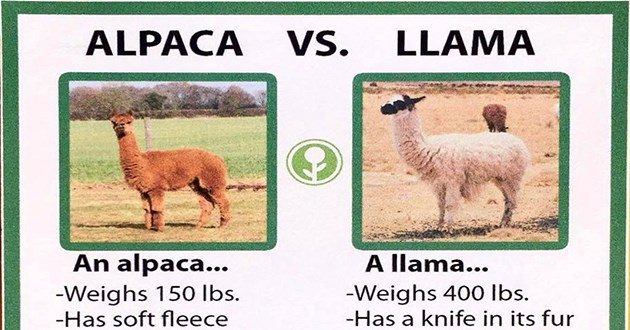 animal facts llamas alpacas