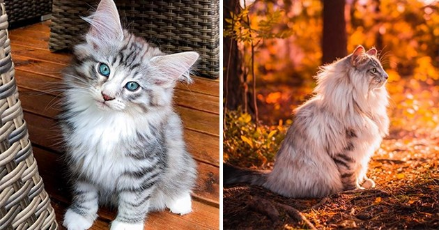 Norwegian forest cat instagram