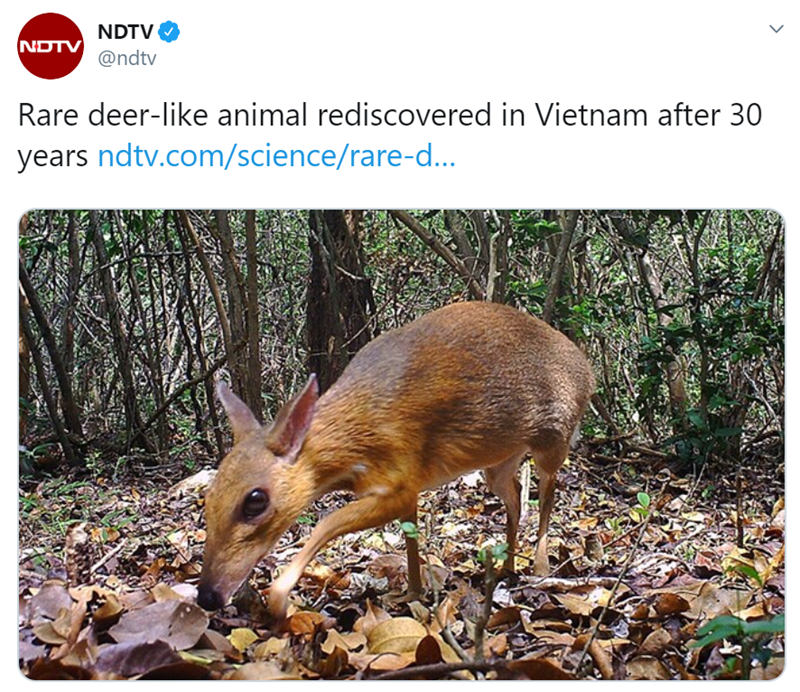 rare mouse deer