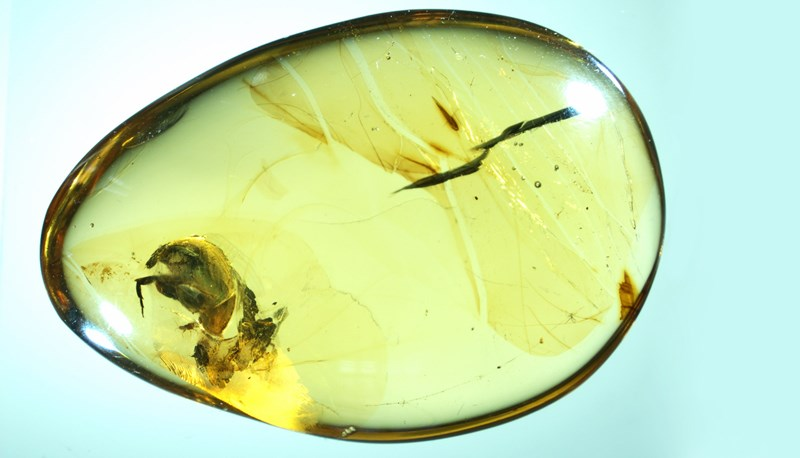 a preserved beetle shows they were pollinating flowers 99 million years ago