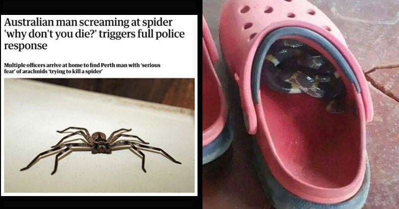 Funny and terrifying pics of animals in Australia | Australian man screaming at spider 'why don't die triggers full police response Multiple officers arrive at home find Perth man with 'serious fear arachnids 'trying kill spider Perth man apologised team police officers showed up at his house passerby called police they heard toddler screaming and man repeatedly shouting 'Why don't die man apparently just trying kill spider. pic of a croc shoe with a snake coiled inside it
