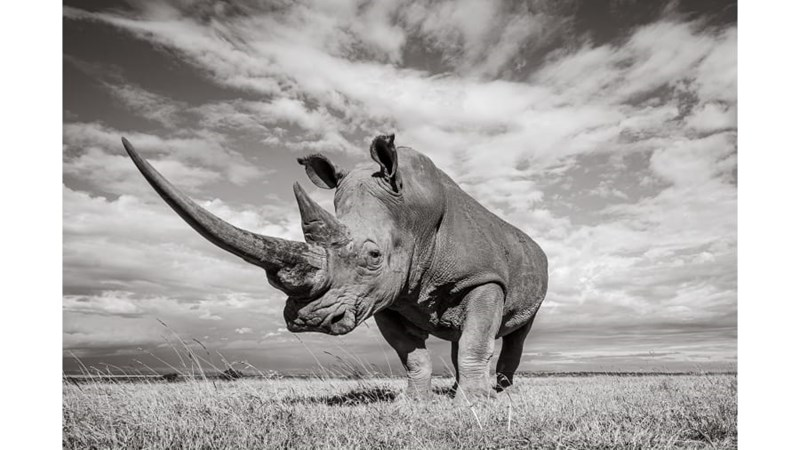 black rhinos photography art endangered white rhinos wildlife rhinos kenya - 9701381