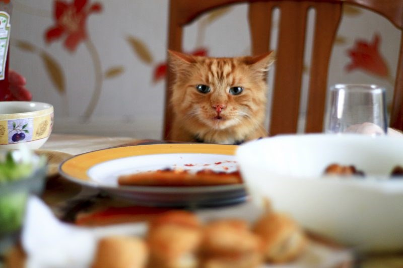 DIY thanksgiving treats for cats, cat on thanksgiving table