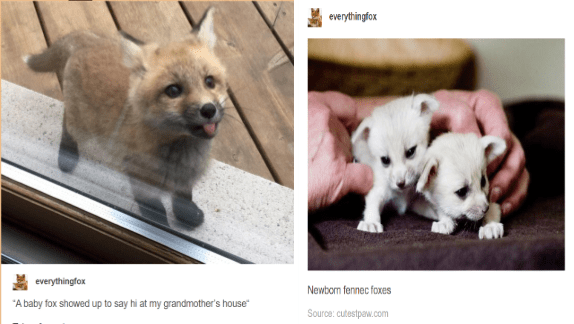tumblr posts about foxes, funny fox post