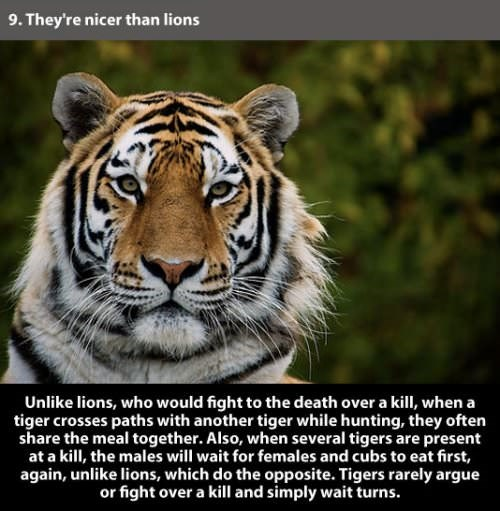 tiger facts interesting animals
