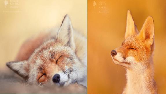 animal photos fox animal photography Photo animals - 9788165