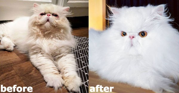 persian floof Fluffy Cats himalayan rescue - 979461