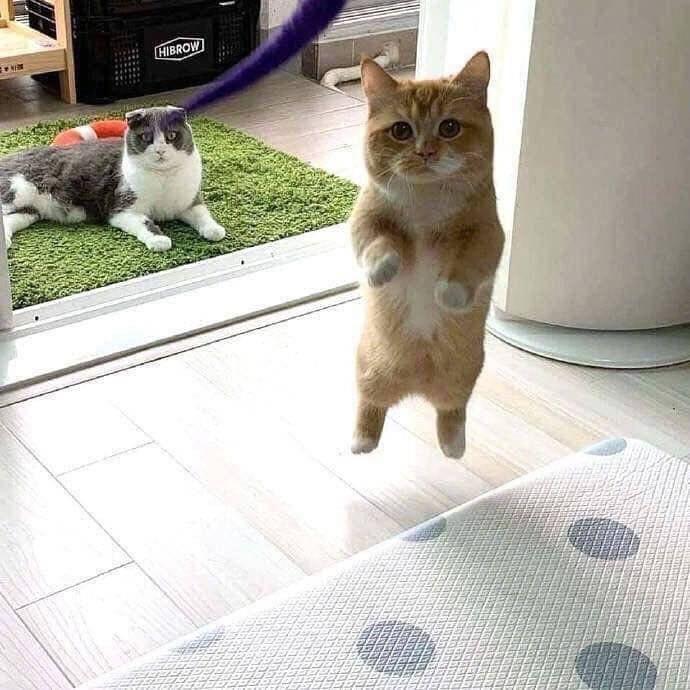 hovercat cat funny fly