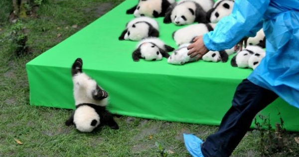 Babies,China,cubs,giant panda,panda