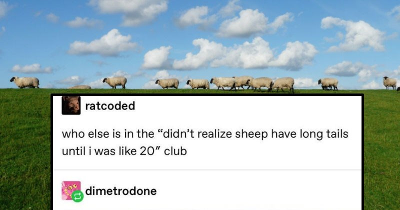 Tumblr thread on farm animals and procedures on them takes a dark turn when someone explains how pigs are omnivores | ratcoded who else is didn't realize sheep have long tails until like 20 club. row of sheep walking in a green field in front of a blue sky