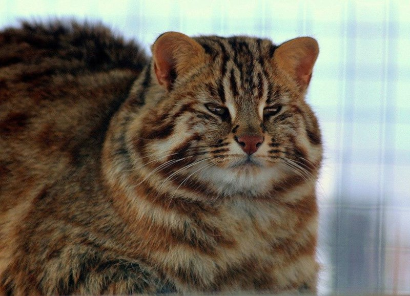 amur forest wild cat