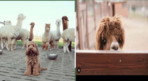aww cute animals cute cute alpacas gold mine alpacas - 9916165