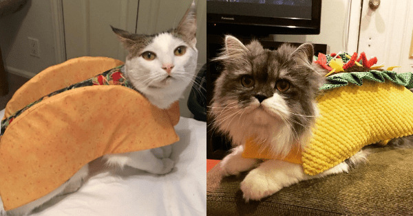 Cats costume palindrome taco tacocat - 994565