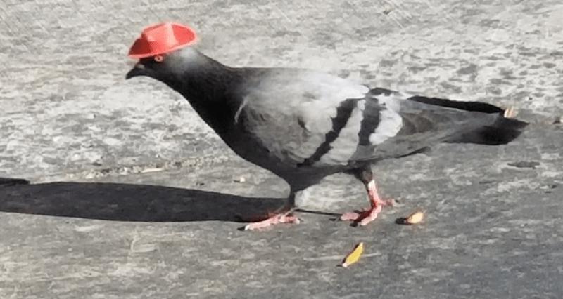 pigeon animal rescue cowboy hat las vegas animals - 9956613