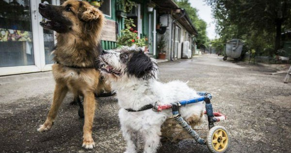 shelter,dogs,disabled,wheelchair,romania,rescue