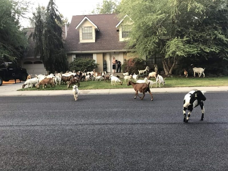 Funny goats on the loose in idaho | Large flock of goats grazing on the lawn of a well-kept suburban home