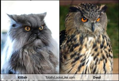 Kitteh Totally Looks Like Owul