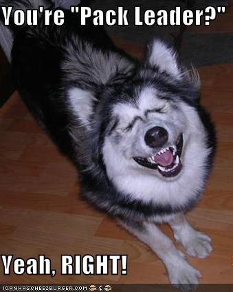 husky,laughing,mean