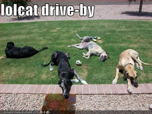 attack,drive by,great dane,lolcats,whatbreed