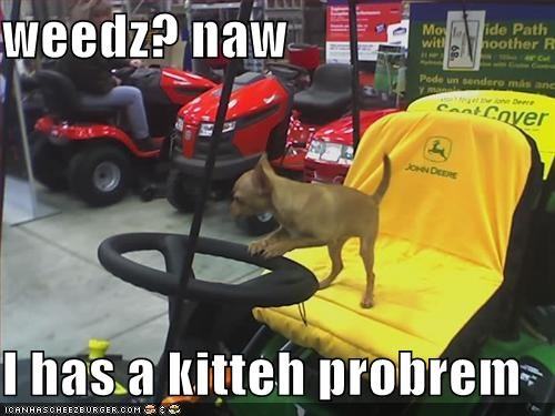 chihuahua,lawnmower,problem