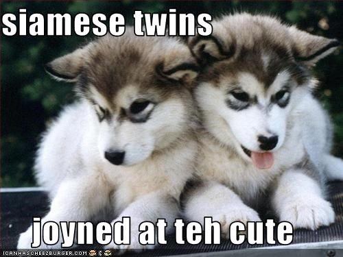 cute,malamute,puppy,siamese,twins