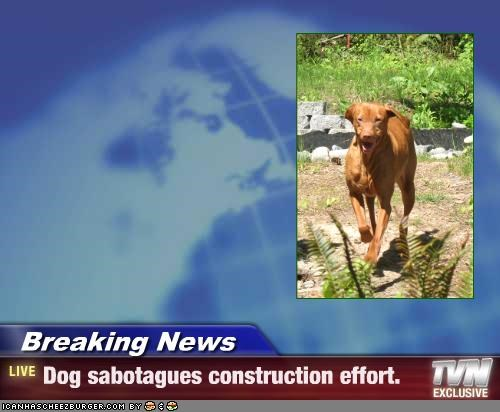 Breaking News - Dog sabotagues construction effort.
