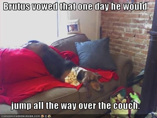 Brutus vowed that one day he would   jump all the way over the couch.