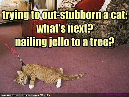 trying to out-stubborn a cat: