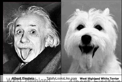 Albert Einstein Totally Looks Like West Highland White Terrier