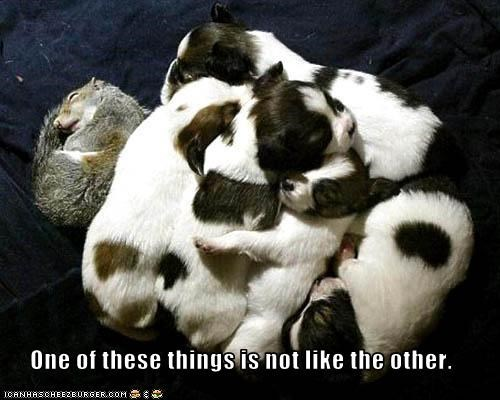 baby,jack russel terrier,like,litter,lolsquirrels,sleeping