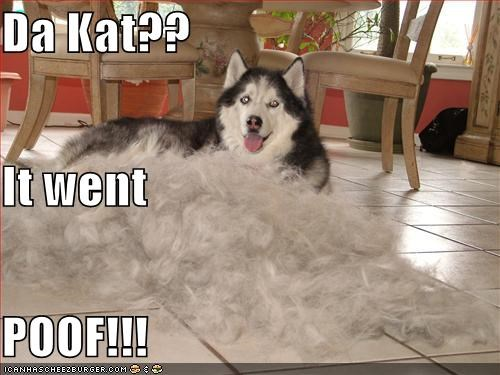 explosion,fur,grooming,husky,lolcats