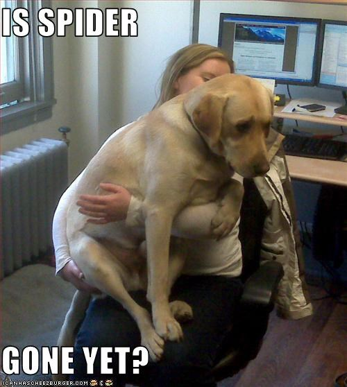 big,bugs,labrador,lap,Office,scared,spider