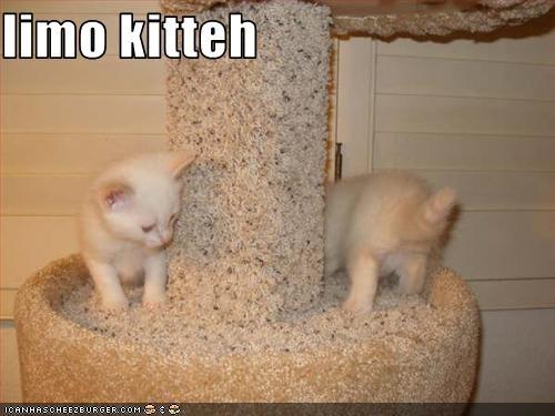 limo kitteh