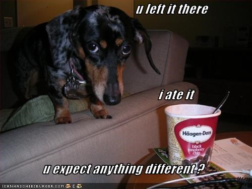 ate,dachshund,food,honest,ice cream