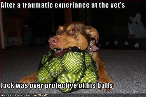 After a traumatic experiance at the vet's  Jack was over protective of his balls