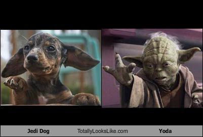 Jedi Dog Totally Looks Like Yoda
