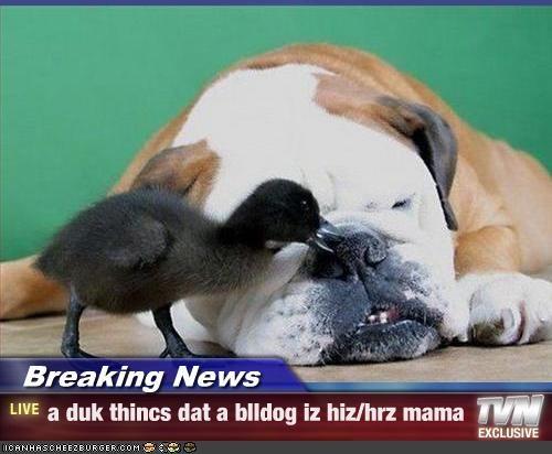Breaking News - a duk thincs dat a blldog iz hiz/hrz mama