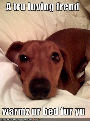 bed,dachshund,love,mans-best-friend,warm
