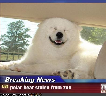 akita,Breaking News,happy,lookalike,polar bears