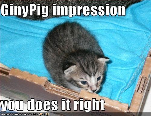 cute,guinea pig,impression,kitten,look a like