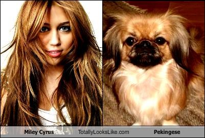 Miley Cyrus Totally Looks Like Pekingese