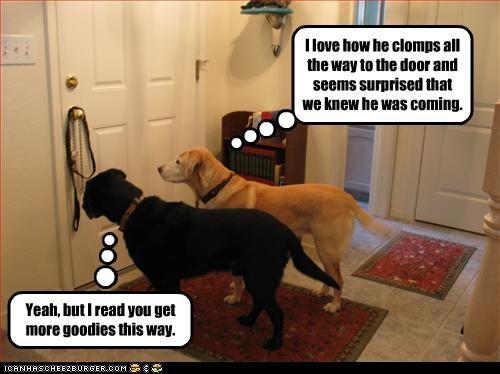 door,goodies,humans,labrador,more,stupid,surprise,treats,waiting