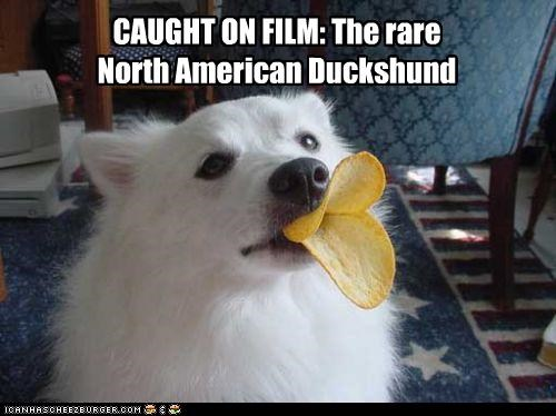 CAUGHT ON FILM: The rare North American Duckshund