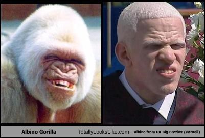 Albino Gorilla Totally Looks Like Albino from UK Big Brother (Darnell)